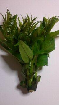 ご近所の方がタラの芽だと言い下さいました。トゲもなく葉の形も違います。何の芽かお分かりになる方お教え下さい。