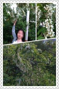 この植物の名前は何でしょうか? 山の中にたくさん自生していました。 5mくらいの低木で自立しており蔓植物ではないようです。 小ぶりの… 白い藤の花のような花をたくさんつけていました。 香りはフジと同じような芳香です。 ご存じの方がいらしたらお知らせ下されば嬉しいです。 よろしくお願い致します。