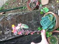 多肉植物に花がさいてこんなに上に伸びたのですがこの後どうしたらいいんですか?どこから切れば・・?また増やしたいのですがどうやればいいでしょう?