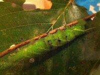 アゲハチョウでしょうか? 小2の娘が近所のお宅から頂いてきた幼虫です。 サクランボの木の葉についていたそうなんですが娘が蝶だと疑っていません。体長は4センチくらい。私は蛾でも蝶でもどちらでもいいので...