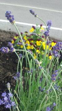 ラベンダー ホームセンターでラベンダーを買ってきました。  地植えで植えたら写真のように首をkしげます。  1週間経ちますが、花の横の茎?の部分がが茶色くなって、指で触ったら花がポロポロ落ちてきます...