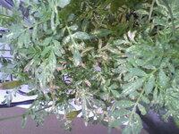 マリーゴールドの葉が変色してしまいました。 ところどころ白っぽかったり、赤っぽかったりします、、 なにかの病気でしょうか? 花はいくつか 咲いていて、蕾もまだたくさんあります。 同じ鉢に植えてあるインパチェンスとサルビアも元気に咲いています。 このまま放っておいて大丈夫ですか