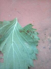 何の卵でしょうか? シソの葉の裏に1ミリあるかないかくらいの茶色いつぶつぶ卵がくっついています。