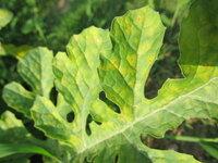 スイカの葉の黄変・生理障害? --- 路地栽培・ほぼ慣行のカボチャ台木・大玉すいか(紅大)です。  収穫間際ですので、あまり気にすることはないとは思いますが、写真のように葉が黄変しています。 ハダニは見られません。 来年も栽培する予定なので、原因を知りたいと思います。  何らかの不足・あるいは過多による生理障害でしょうか。 それとも、一般に葉が古くなれば このように黄変し枯れ...