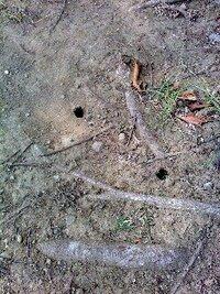 公園の木の根本に空いている直径1センチくらいの穴。 セミの幼虫が土から出てきたときに空いた穴だと思うのですが、そうでしょうか? この公園 にはセミがたくさん鳴いてます。 セミって、毎年たくさん鳴いていますが、数は減ってないのでしょうか? 同じ夏の昆虫でも、クワガタやカブトムシは数が減ってますよね。