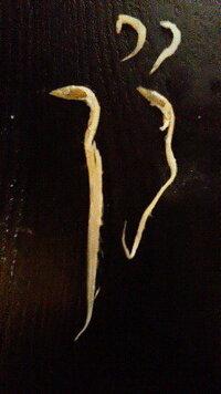 しらす干しに入っていたこの魚は、なんという魚でしょうか??   パック入りで買ったシラス干しの中に、画像のような細長い魚がいくつか入って いました。  画像左の一番長いもので、約9.5cmです。 (右の小さい2匹は、参考までに、普通サイズのしらすです)  つまんだところ、指に銀色のものがこびりつきました。  細長い体形や、表面の銀色がはがれることからして、太刀魚の稚魚かな?とも思いましたが、...