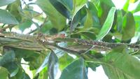 温州みかんの幼木で、実はありません。 枝に茶色い虫みたいなのが沢山付いているのですが、これは何ですか?防除方法も教えて下さい。