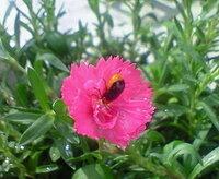 なでしこにつく虫は害虫でしょうか? 最近なでしこのお花に虫がついています。 この虫は何をしていますか? 害虫でしょうか? 教えて下さい。 よろしくお願いします。