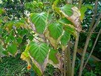 ヤマボウシの葉の変色、病気について 1-2年くらい前に高さ2mほどのヤマボウシを植えました。 初夏くらいから葉っぱが枯れた感じになり、今ではほとんど全部の葉っぱがこんな状態です。 対処方法と原因など教えていただけますか?宜しくお願いします。