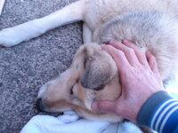 二匹目の♀犬雑種は横になってる時に頭を撫でると両目を瞑るんですがなぜですか? 写真の通りです