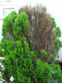 ヒバの手入れ 今春 ヒバの木の雪囲をとると 一部枯れてしまいました。 枯れた部分はどう手入れしたら よいでしょうか?