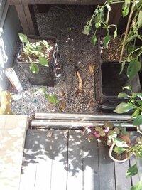 隣の家から竹の根が侵入して困っています。 以前竹の根が侵入で質問してアドバイスして頂き対策として地下1mの深さにコンクリートを流し安心していたら・・・ 今度は玄関から竹が出てきてしまいました。 笹竹...