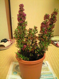 エリカ科の植物について。  花が終わり 枯れて茶色くなった花は どうやって捕ります? 一つ一つ手でつまむ? それともそのまんまにしておく?  教えて。