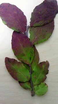 植物に詳しい人に質問その2です。この葉の種名は何ですか? また、何科の植物なのでしょうか?