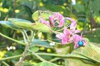 植物の名前を教えてください。 写真の赤い花に青い種?をつけた植物の名前を教えてください。  樹高は2m位でした。  この青く光っているのは種子でしょうか?  併せてお教えください。