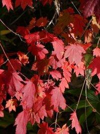 尾瀬の紅葉 先日、尾瀬ヶ原で見かけた紅葉ですが、何という植物でしょうか? おわかりになる方、教えてください。