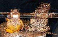 """【 新種の""""カエル""""22年ぶりの発見!~新潟・佐渡島 】 http://headlines.yahoo.co.jp/videonews/ann?a=20121211-00000037-ann-soci 南西諸島以外の国内で実に22年ぶりの発見です。 新潟県の佐渡島で新種のカエルが見つかりました。  佐渡島で見つかった新種のカエルは、全長約5センチで、 発見場所の名前を取って「サドガ..."""