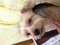 今気付いたんですが、犬の目の周りが赤いです。写真載せておきます。アトピーか何かでしょうか?