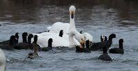 白鳥の廻りにいる黒い水鳥の名前がお分かりのかた教えていただけますか?