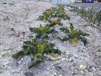 昨年植えた秋まきの大根です。 種まきの時期が遅れ、大きくならずに冬を越してしまいました。 このまま育てれば収穫できるのでしょうか?