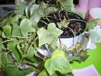 アイビーの葉が所々 変色してきているのですが、何が原因なのでしょうか?また対処法があれば 教えてください。 去年の秋頃に購入し、冬の寒さも耐え、3月が来るまでは元気な姿だったのですが、 葉に茶色の染み...