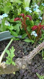 バラのシュートの処理 ギーサヴォア(デルバール)ですが、鉢の下から根を張って鉢が動かなくなり凄く大きくなりました。今ある枝は4本有って長さは、3本が2メートル、1本が古い枝で70センチ位です。4本ともすべてに蕾が沢山付いています。  写真のサイドシュートが2本出ている枝は昨年の秋に伸びた一番新しい枝です。   この再度シュートは、取った方がいいですか?