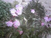 広島県のとある公園で撮った花の画像です。何の花ですかね?ムシトリナデシコにしては花型が違うような…誰か教えて下さい!