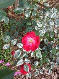 このバラの名前わかる方いたら教えてください。つるバラじゃないです。