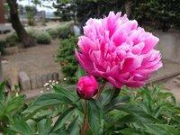 この花は、牡丹と芍薬どちらでしょうか? 開花したのは5月上旬です。