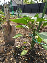 ピーマンの背が伸びません!大丈夫でしょうか?  今年もピーマンの苗を2つ買ってきて、GWに畑に植えました。  他の野菜と共に育ってきたのですが・・・ピーマンの背が伸びません。  毎年、もう少し背が高く なってから一番花が付くと思うのですが、スコップよりも背が低い状態で一番花が咲き、実になってきました。 次々に花もついて来ました。  このまま、実にならせて花も咲かせていってもいいのでしょうか?...