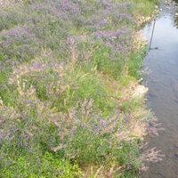 この川岸に咲いている花は何ですか?