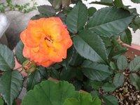 オレンジ色のこのバラの名前を教えてください。 画像のバラの名前がわかりません。調べて見ましたが似たようなのばかりで・・・ 詳しい方教えてください!