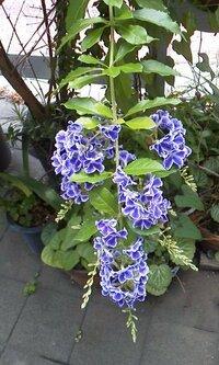 この植物は何という名前でしょうか? 丈1.6メートルほどの灌木で、5月下旬から咲いています。花は五弁で、枝先に集まって咲きます。