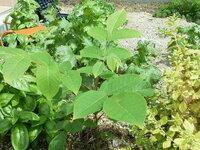 庭に生えてきました。こちらの植物(写真中央)は何というものでしょうか? 現在、高さは30cmほどです。