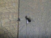 ◆至急!自室に羽アリが発生中です◆ ここ2週間前から2階の自室にシロアリではない、 黒アリの羽アリが頻繁に発生しています。 流石に我慢を超えそうでどうにかならないものかと質問しました。。 最初の頃は、異変に気付きキンチョールを吹いたら、 自室中央辺りの天井にある蛍光灯の真下の床に5~6匹、 ベッドの足側と隅のクローゼットとの間の空間の床に10匹辺りいました。  それからは寝る数...