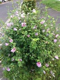 この花の名前を教えてください。 近所の団地の公共路地で見かけたのですが、ほぼ手入れ無し(おそらく?)の地植で咲いています。 ・1mくらいの背丈 ・全体がこんもりとした丸い形の姿 ・花は薄い紫色です。