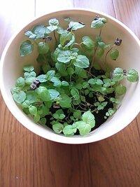 最近育てはじめたミントの葉先が枯れ始めました。 今から対処して持ち直すでしょうか? 虫除けもかねてミントを育て始めました。 今まで植物を育てた経験はないので、水を注ぐだけで始められるタイプのものです...