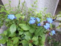 花の名前を教えてください。「ルリマツリ」に似ていますが、、、。 写真の花の名前、「ルリマツリ」ににてるとおもうのですが自信がありません。「ルリマツリ」であっていますでしょうか。写真がピンボケで申し訳ないです。わかる方がいらっしゃったらおしえてください。