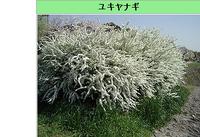 ユキヤナギ(雪柳)は雑草防止対策に活用できますか?  ※ユキヤナギ,バラ科シモツケ属の落葉低木   カテゴリ,暮らしと生活ガイド > 園芸、植物、ガーデニング