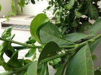 ミカンの木に大量に発生しているこの白い害虫はなんて名前ですか?