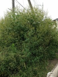 夏前、小さかった雑草が、まるで木の様に大きくなり(私の身長160㎝を完璧に超えてる)生い茂ってる所はまるでジャングル!うちは、たまに草を刈ってたので猫じゃらしくらい。お隣さんはほっといたら… これは木?雑草?一年草?根付くタイプ? 広がる?何か情報を下さい! よろしくお願いします!