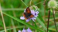 10/3 花もすっかり少なくなった野辺山高原にわずかに残ったマツムシソウに小さな蝶が来ていました。この蝶の名まえを教えてください。宜しくお願いします。