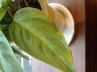 観葉植物に黒い虫が付いてしまいました。  なんという虫なのでしょうか。 どうやって駆除すれば良いのでしょうか。  宜しくお願い致します。