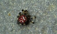このクモ(蜘蛛)毒グモでしょうか。 最近家の周りで数匹発見しました。  背中が赤く、手足は黒っぽい色と・白の模様です。  詳しい方どうぞ宜しくお願い致します