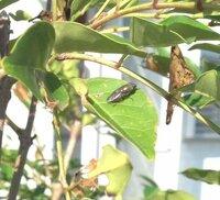 シマトネリコに害虫? 再質問です。 シマトネリコを6月に植えました。夏過ぎまでは元気に成長をしていたのですが、秋になり、青虫がきたり葉を食べられることが多くなりました。 オルトランをまき、青虫はいなくなったのですが、今日水をまいていたら、葉が枯れて丸まっていることに気づき、さらに画像のような 虫が複数いました。 この虫は、なんでしょうか? また、どんな対策を取ればいいのでしょうか?...