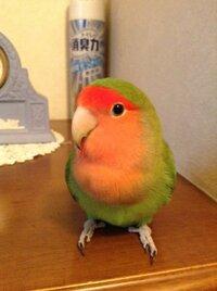 このコザクラインコは雄ですか?雌ですか?  もうすぐ5歳になるコザクラインコがいます。ただ、今だ性別が不明なんです^^;   本などで見ると、頭が平らなのは雌と書いてあってうちの鳥も平らなのですが…。  只、よく求愛ダンス的な事をするのです。(・・;)  頭を上下に振って歩き回り、口から餌を出して私の手の上に乗せたりします。