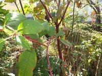 添付画像中央付近にある赤い幹をした植物は何でしょうか?あまりの赤さに異様な感じがしました。住宅敷地内を撮影したものです。
