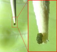キャベツに付着していた謎の極小物体について質問します。  下に画像を載せますが、非常に小さな緑色の物体がキャベツの葉(一番外ではなく 数枚めくった内部の葉)に付着していました。これは何でしょうか。一...