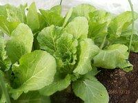 家庭菜園 白菜 栽培 その2 初めて白菜を育てて50日めですが結球するでしょうか?