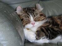 オスの三毛猫は100万円以上って、ホント? ウチにはアメリカンカールのオスの三毛猫がいます。 キャリコ、とは言えないと思うのですが、白とオレンジと黒の毛柄です。 2013.5.24生まれなので、10ヶ月弱ですかね...